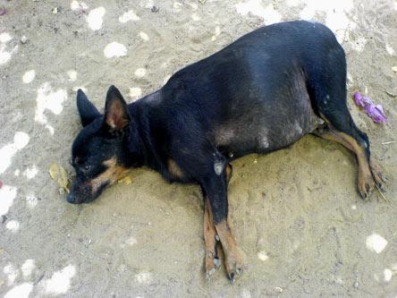 Pups Looking For Good Home Pakistan Animal Welfare Society