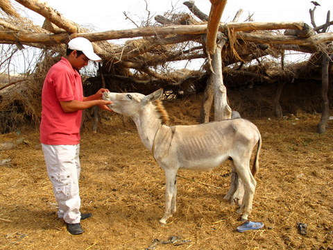 Veterinary Treatment of Livestock at Khorwah, Sindh