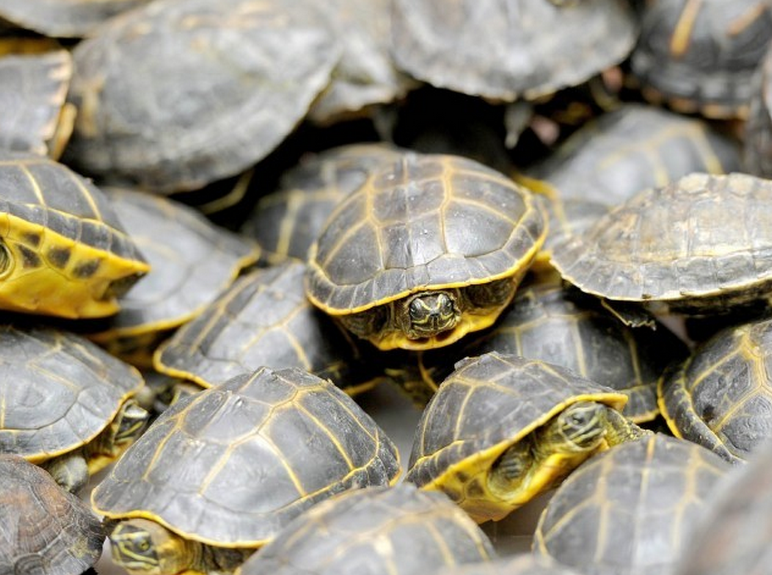 Customs asked to explain what action has been taken against turtle smugglers